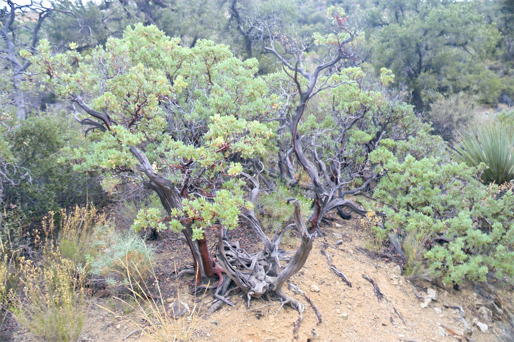 Manzanitas along the Cactus Springs trail in the Santa Rosa Mountain Wilderness