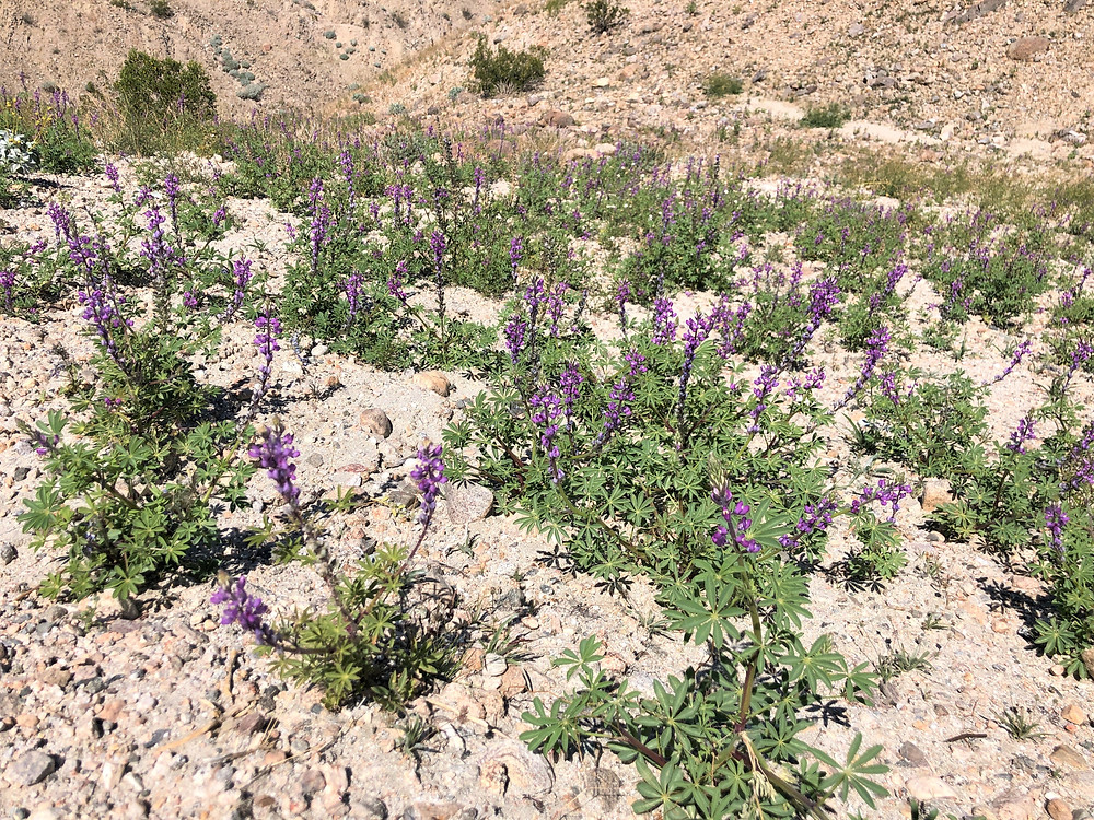 Desert lupine wildflowers along Indio Hills Badland Loop Trail