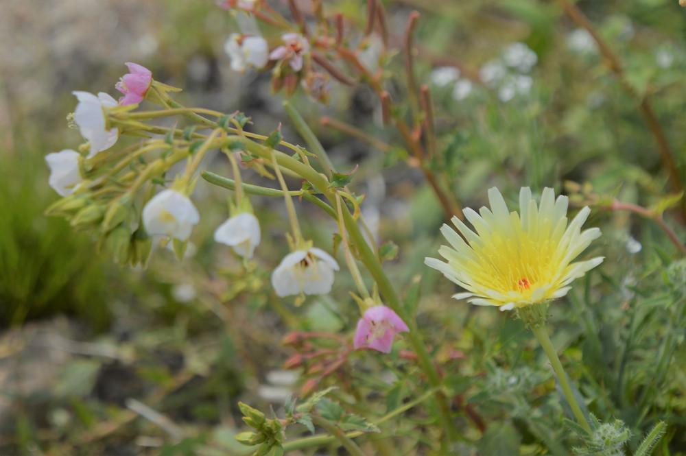 Delicate brown-eyed primrose and desert dandelion along Pushawalla Palms trail in Coachella Valley Preserve area