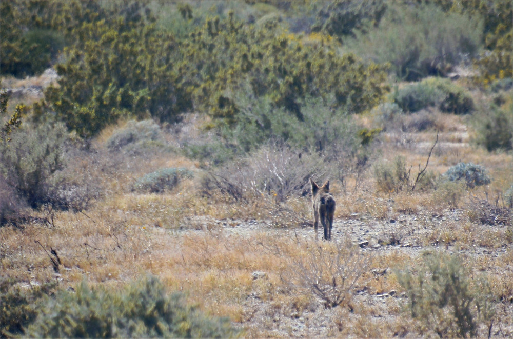 Coyote in Willis Palms Oasis