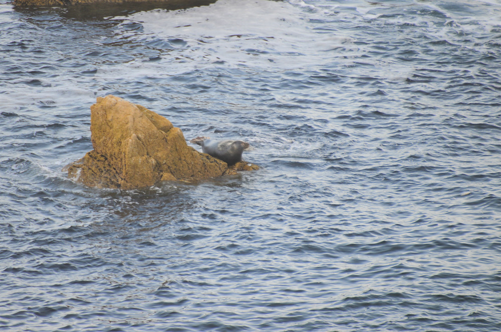 Seal basking on rock off Butt of Lewis on Lewis and Harris in the Outer Hebrides