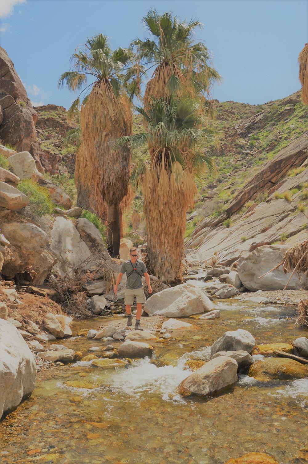 Washingtonia filifera or California fan palm palms grow along the waters edge in Murray Canyon in Agua Caliente Reservation