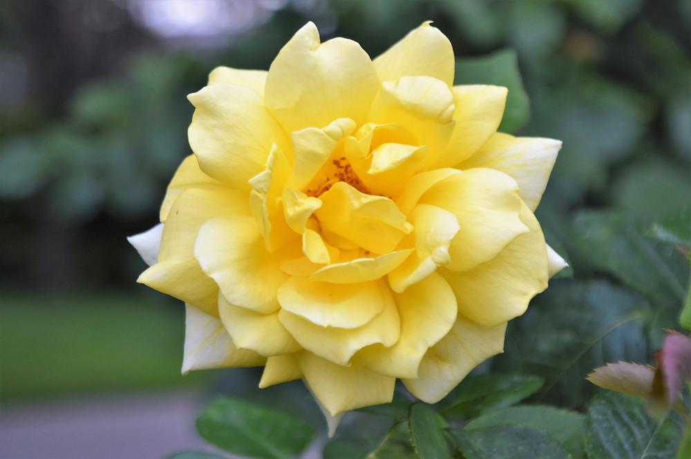 Rose gardens in Vienna