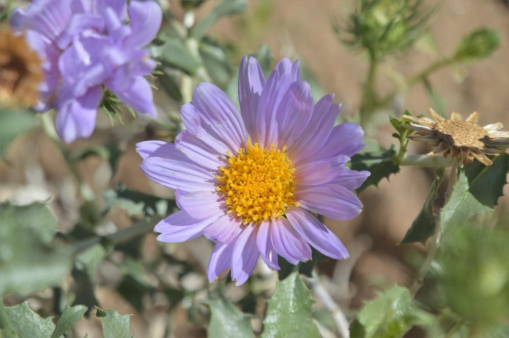 Flowering  daisy-like wildflowers in Mecca Hills