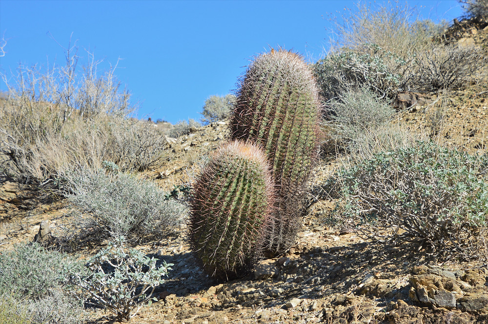 Barrel cactus line trail leading to Murray Hill in Santa Rosa Mountains