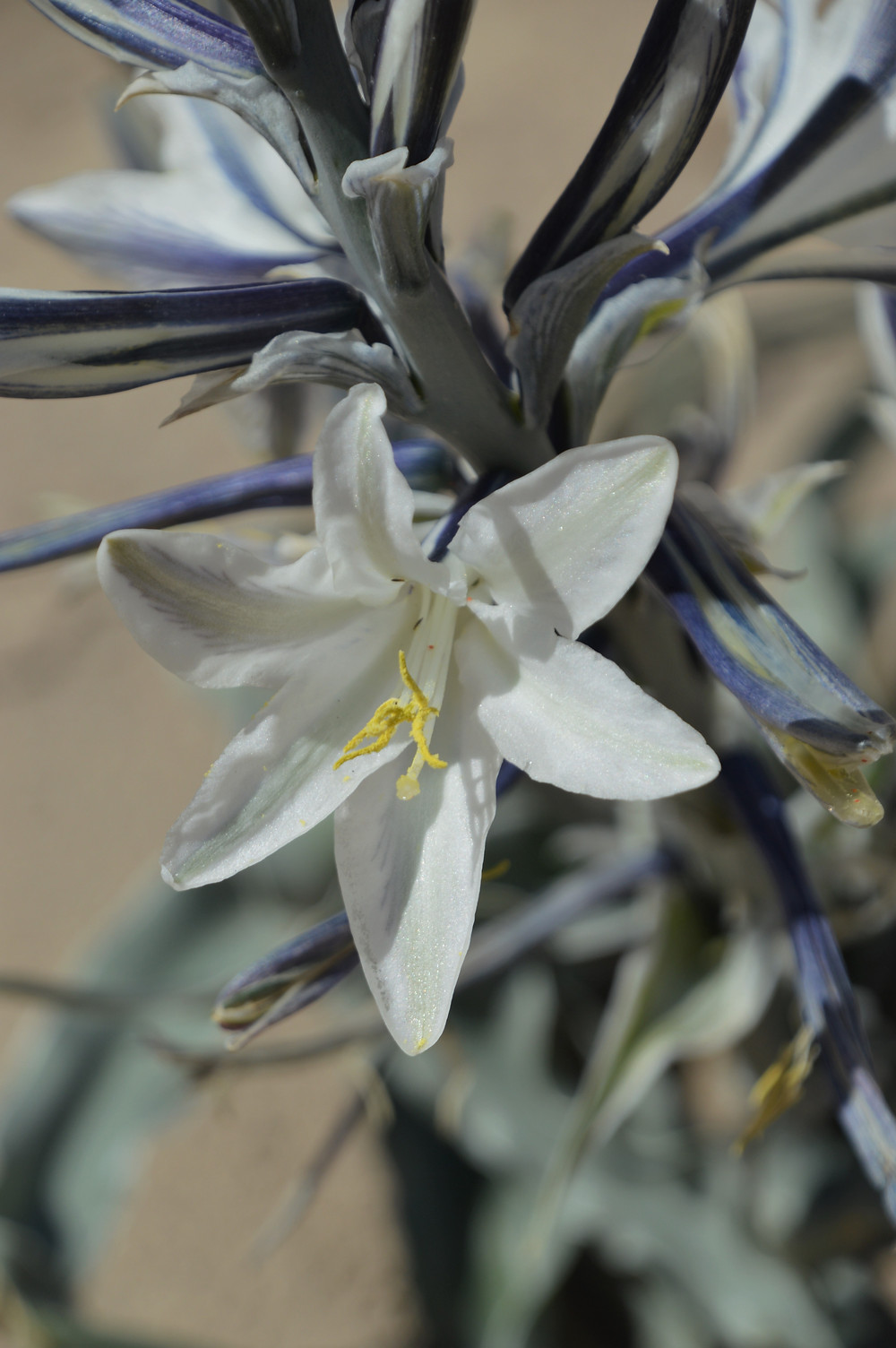 Desert lilies lined the trail Calcite Mine Palm Wash Loop at Anza-Borrego State Park.