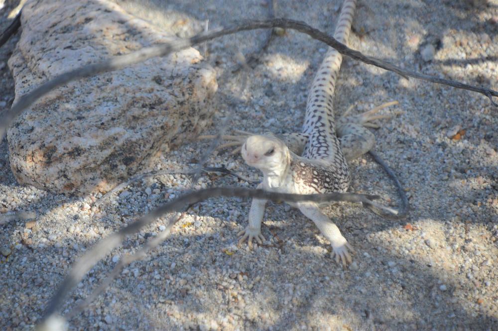 Desert iguana on Willis Palms Trail Loop