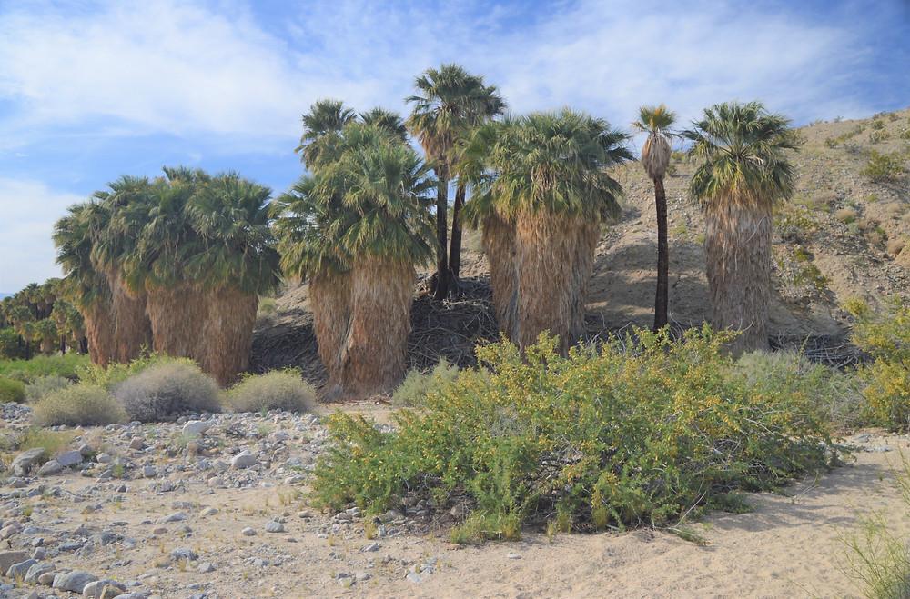 Willis Palm grove.  California palm trees along Willis Palms Trail Loop