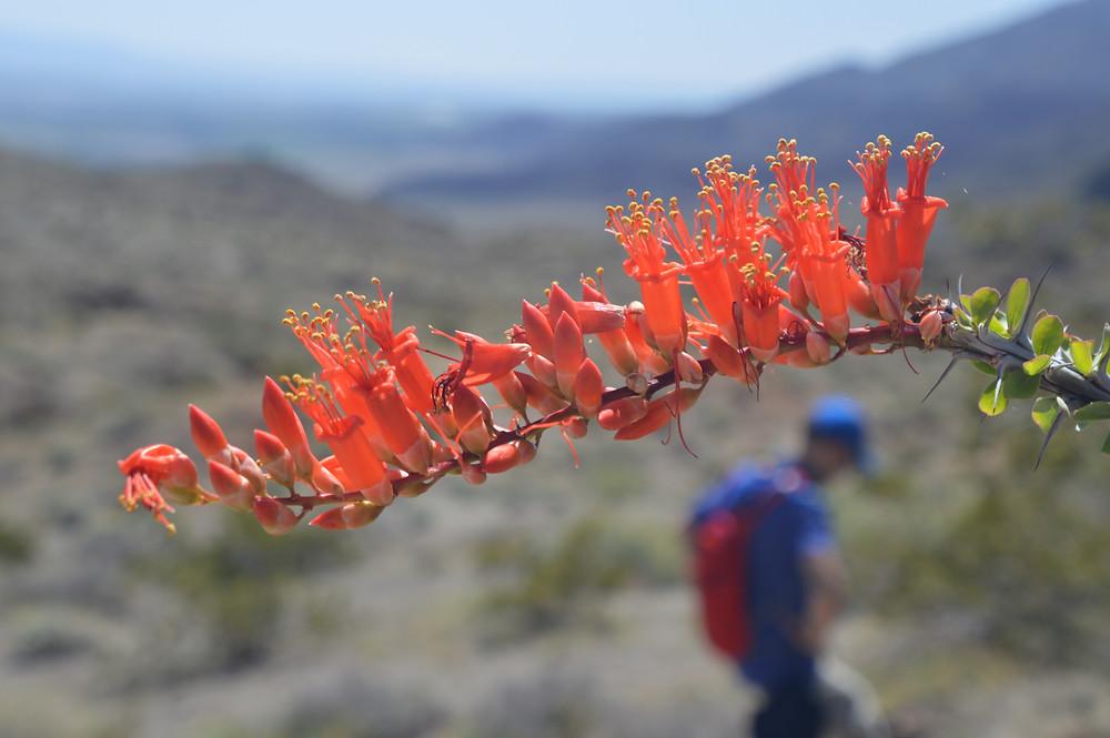 Bright red flower of ocotillo plant
