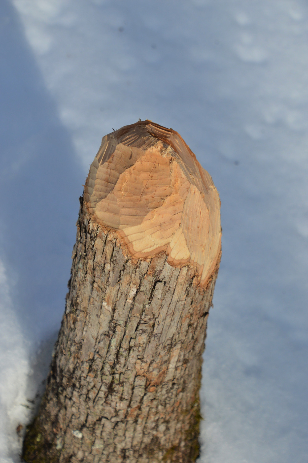 Beaver teeth marks on tree stump.