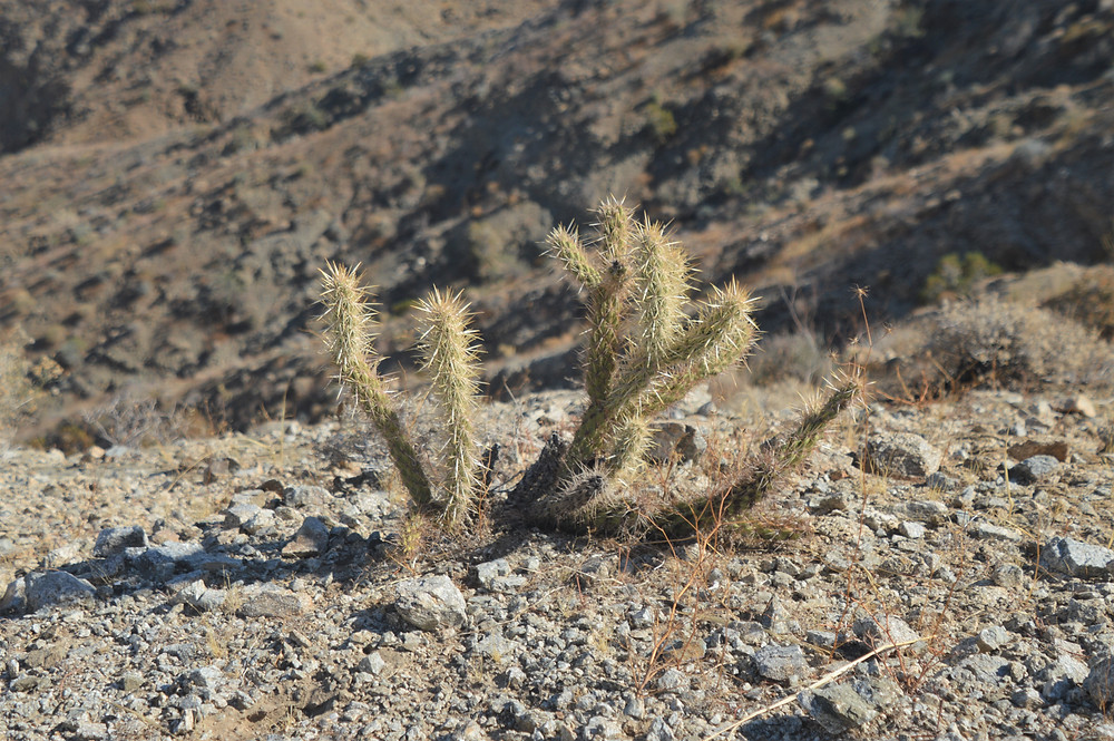 Gander cholla cactus along trail to Murray Hill
