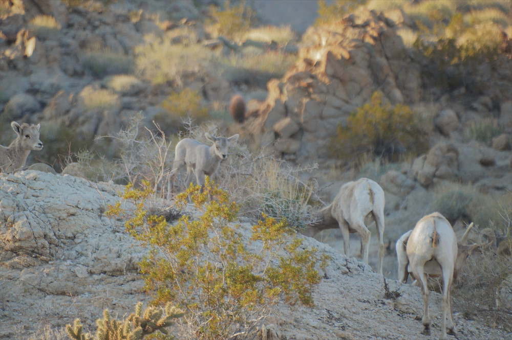 Pennisular bighorn sheep and lambs feeding on the Art Smith trail in the Santa Rosa Mountains