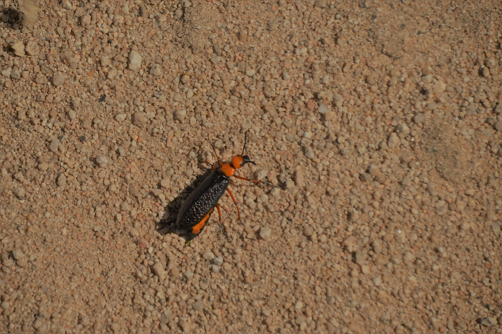 Master blister beetle traveling along the sandy road