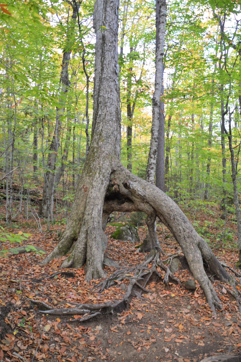 Unusual tree roots on Old Bridle Path to Mt Lafayette