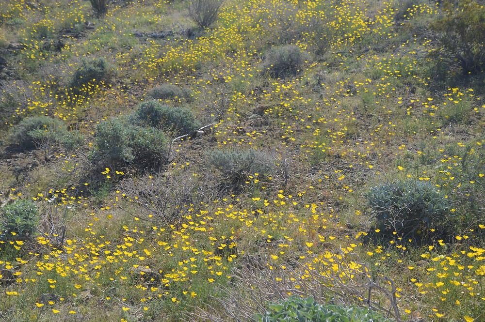 Field of desert poppy wildflowers along Boo Hoof trail in Santa Rosa Mountains