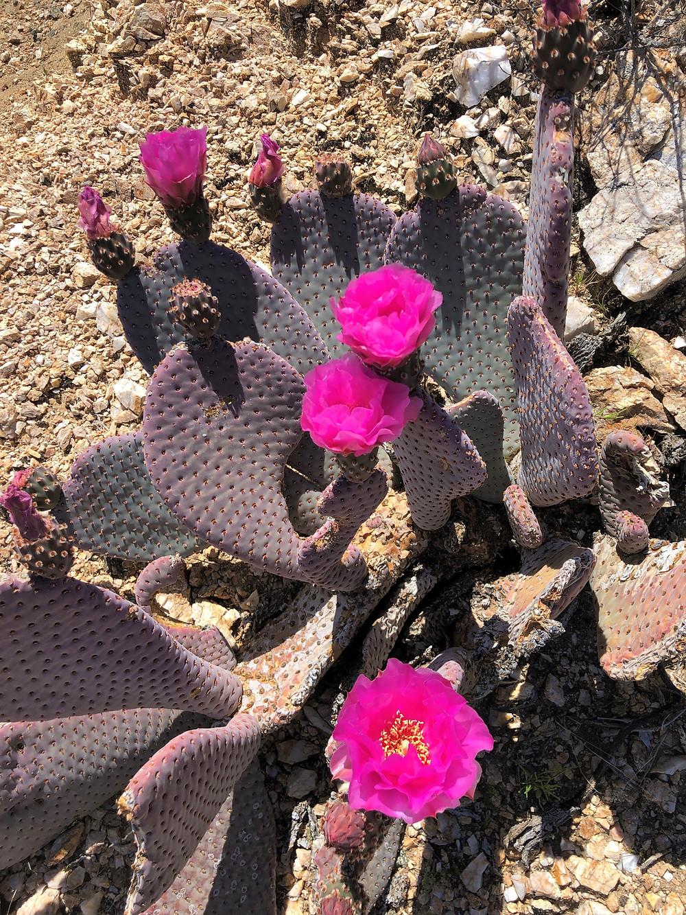 Bright fuchsia colored flowering Beaver Tail cactus