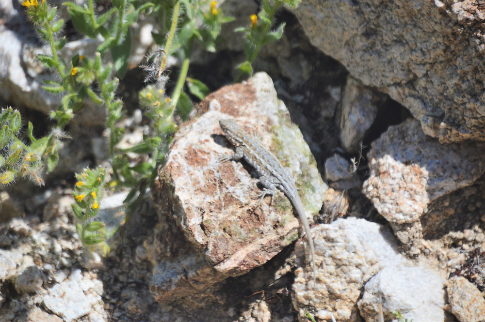 Side-blotched lizard along the Hahn Vista Trail in the Santa Rosa Mountains