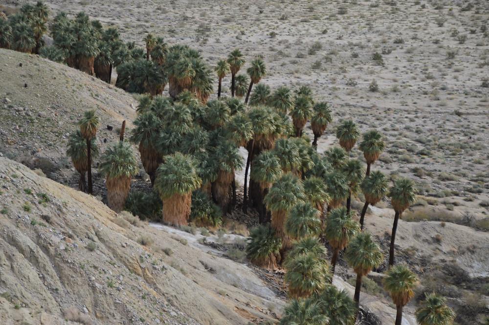 Palm tree along Pushawalla Palms trail in Coachella Valley Preserve area