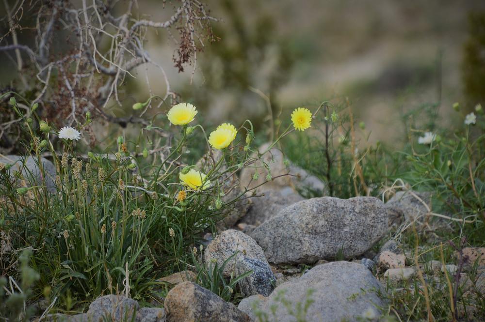 Desert dandelions along Pushawalla Palms trail in Coachella Valley Preserve area