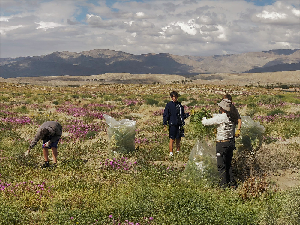 Friends of the Desert Mountains working with Boy Scouts to clear Saharan mustard weed from sand dunes in a reptile-protected area