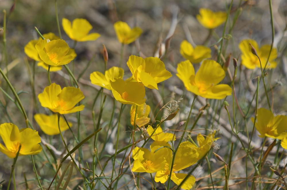 California poppies, desert wildflowers