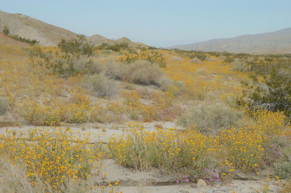Wildflowers along the Indio Hills Badlands trail