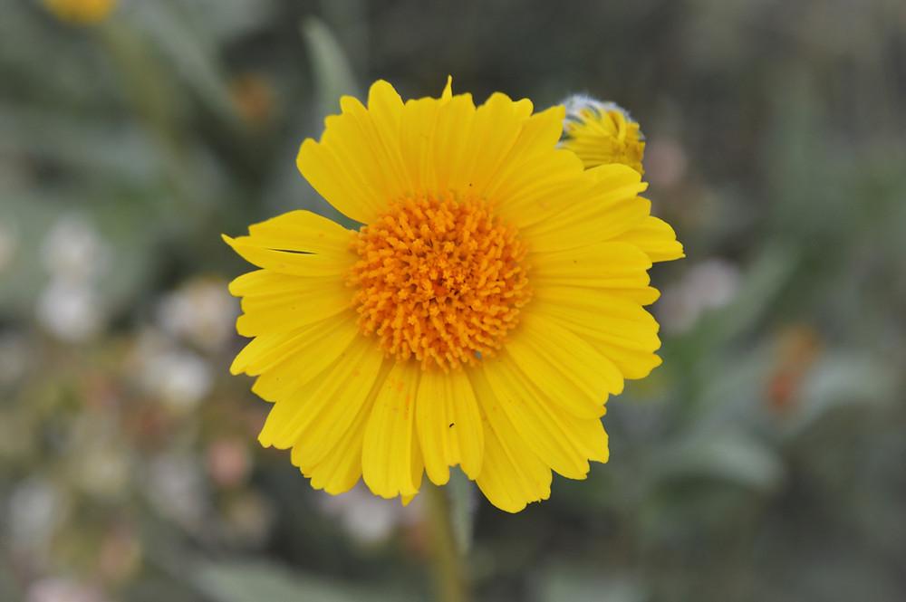 Desert sunflower or desert gold wildflowers along Pushawalla Palms trail in Coachella Valley Preserve area