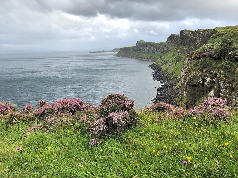 Flowering heather bushes along the coast of the Trotternish peninsula on the Isle of Skye