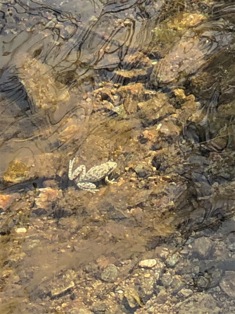 Frog in the Horsethief Creek in the Santa Rosa Wilderness