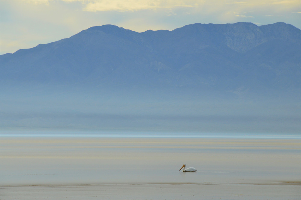 American White Pelican on the Salton Sea with Santa Rosa Mountains in background
