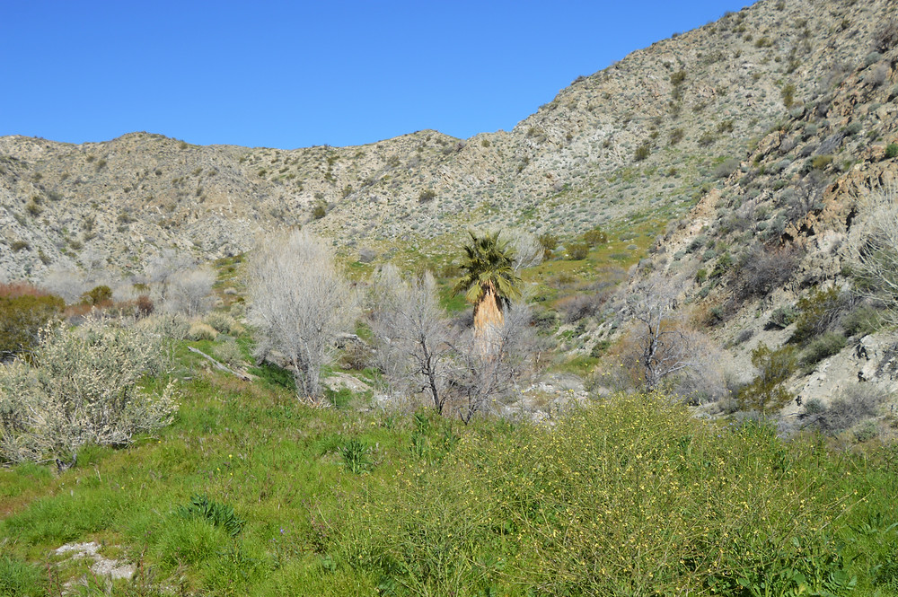 Big Morongo Creek supports marsh habitat in some areas of the trail