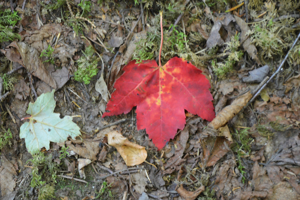 Red leave on Edmands Path to Mt Eisenhower