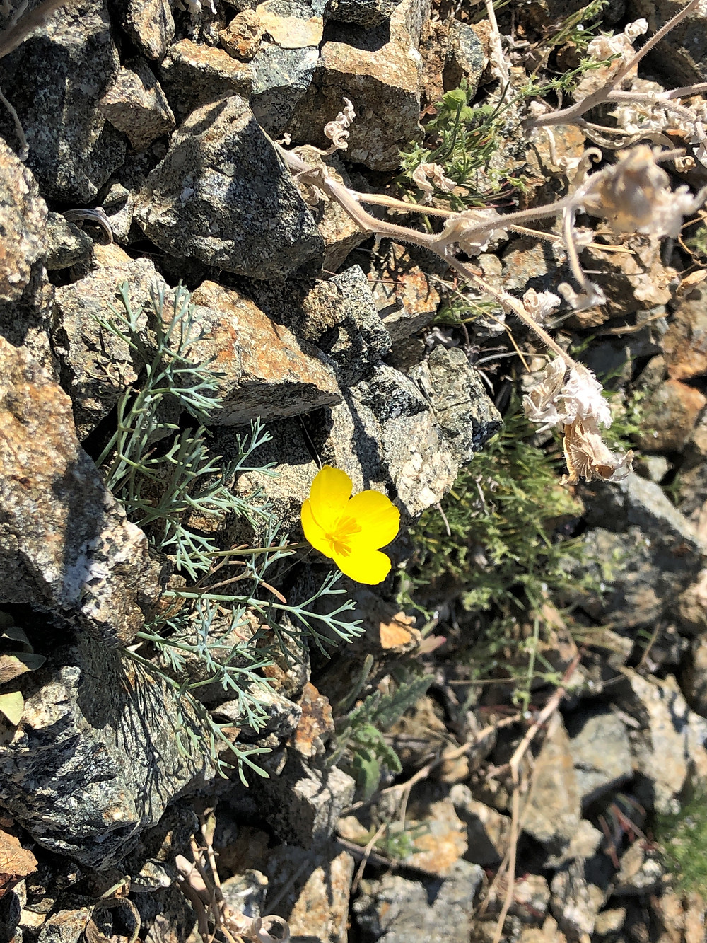 Flowering gold poppy wildflower along trail leading to Murray Hill