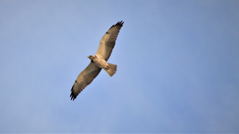 Swainson's hawk flying above the Willis Palm Loop Trail