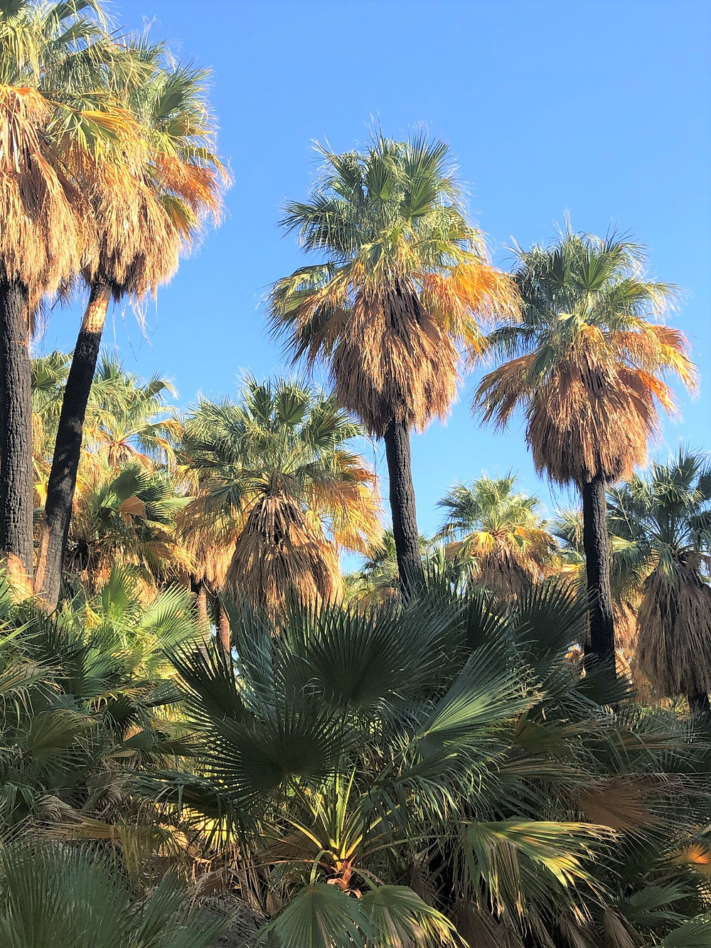 Lush plant life in Willis Palm grove.  Dammed groundwater along the San Andreas Fault Network