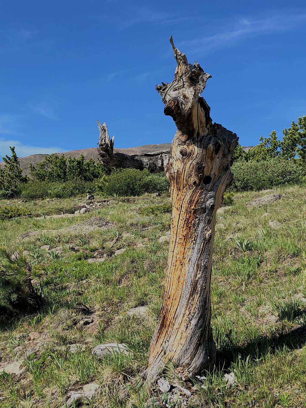 Krummholz forest of twisted tree trunk on hike to Chasm Lake in Rocky Mountain National Park