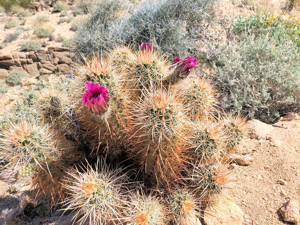 Flowering Engelmann's hedgehog cactus