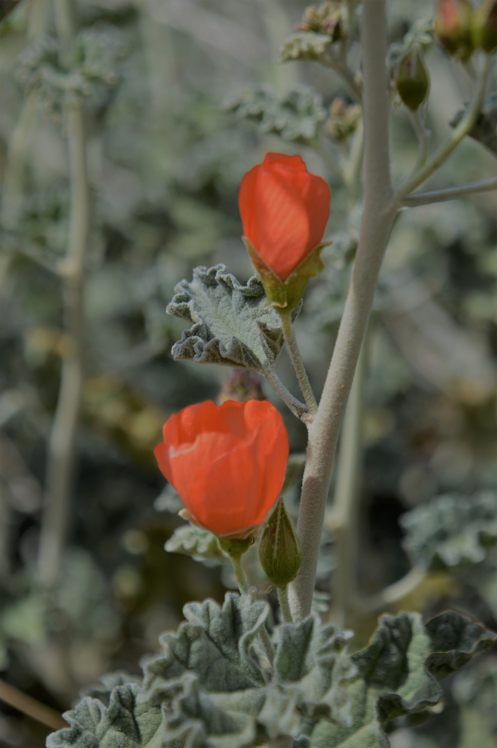 Orange desert globe mallow plants along the Big Morongo Canyon Trail in the Little San Bernardino Mountains in Morongo Valley