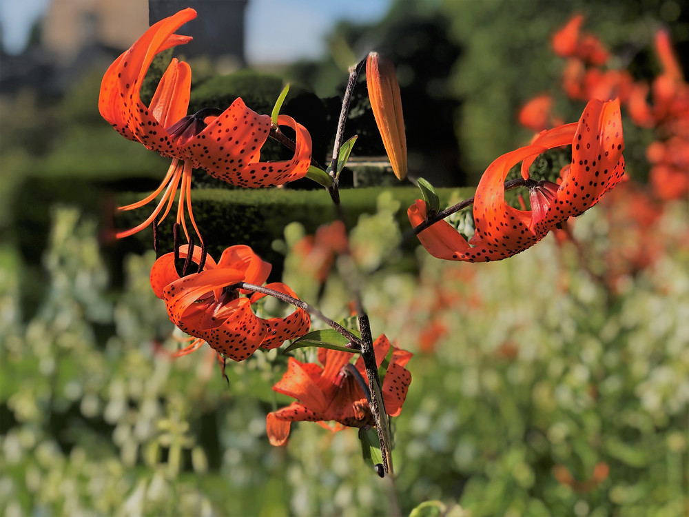 Beautiful red flowers in the gardens on the Cawdor Castle grounds
