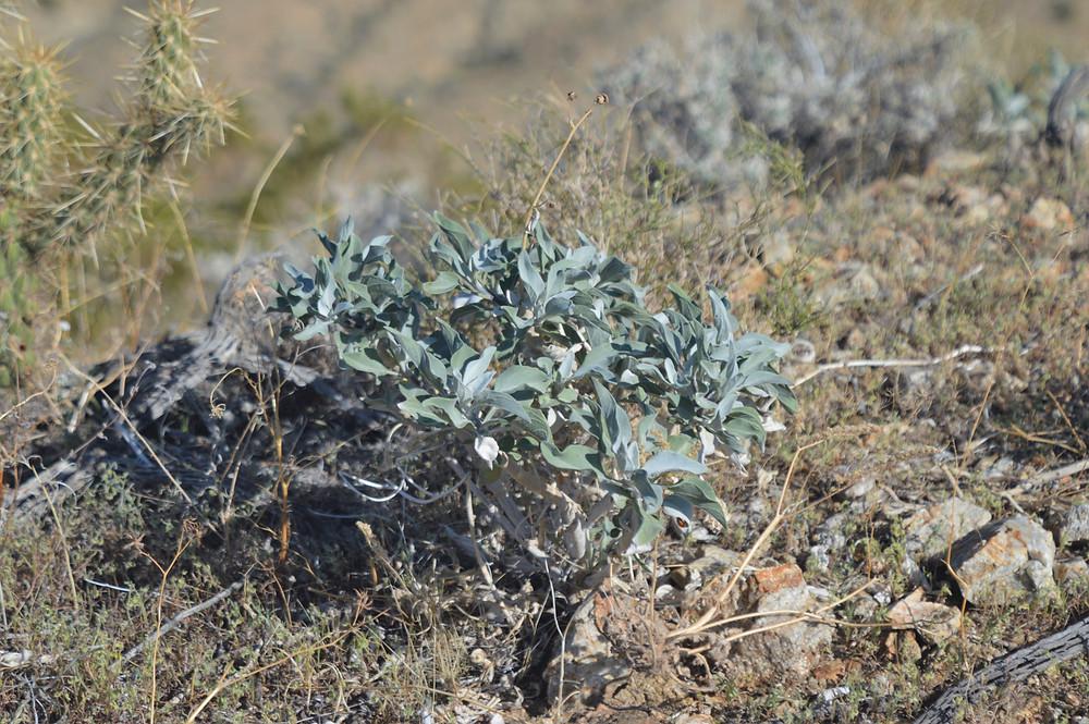 Encelia bush along trail leading to Murray Hill