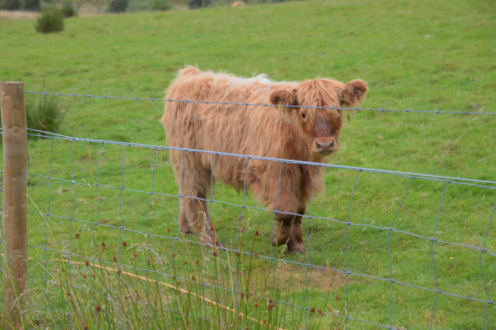 Highland Cows also known as the Highland Coo on Isle of Kerrera in Scotland