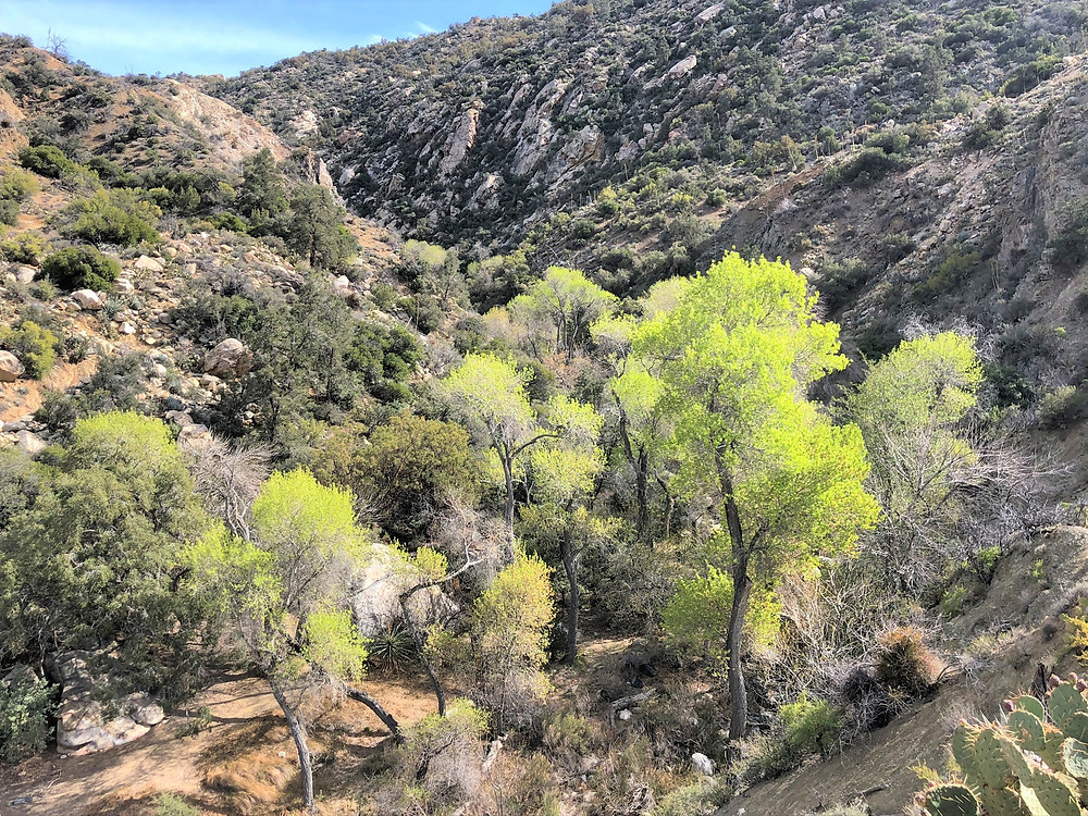 Bright green cottonwood and ash trees along the Horsethief Creek in the Santa Rosa Wilderness