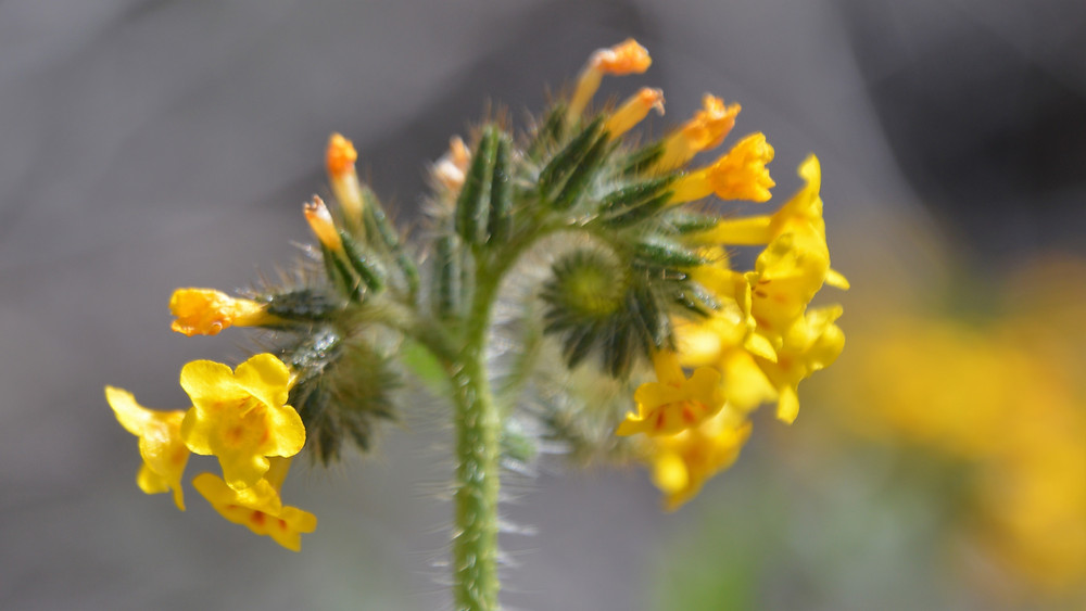 Flowering yellow fiddlenecks line trail leading to Murray Hill in Santa Rosa Mountains