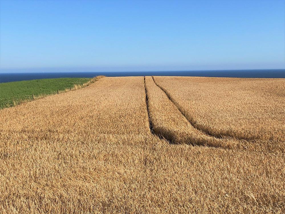 Hay fields on the coast near Dunnottar Castle in Aberdeenshire, SCotland