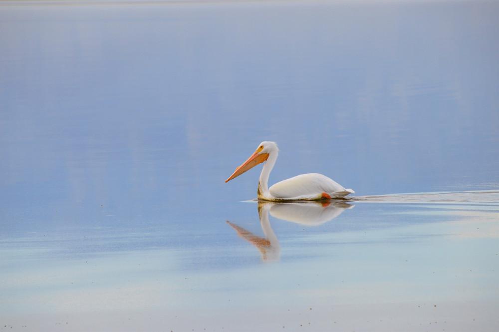 American White Pelican on the Salton Sea