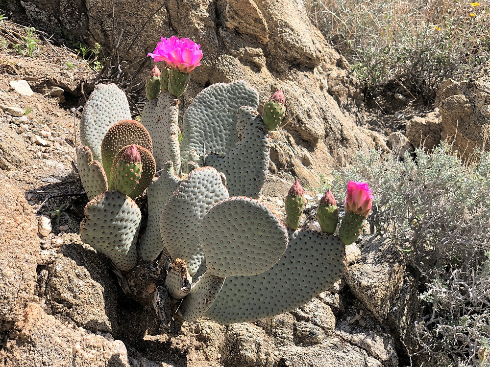 Flowering prickly pear cactus in Swiss Canyon in Little San Bernardino mountains
