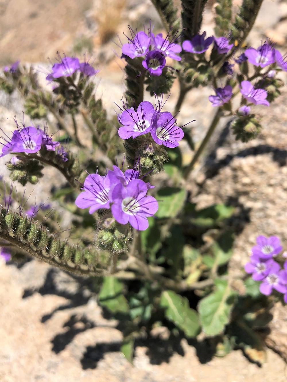 Flowering Notch-leaf scorpion-weed along Indio Hills Badland Loop Trail