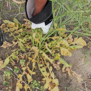 FODM: Invasive Weed Control Program
