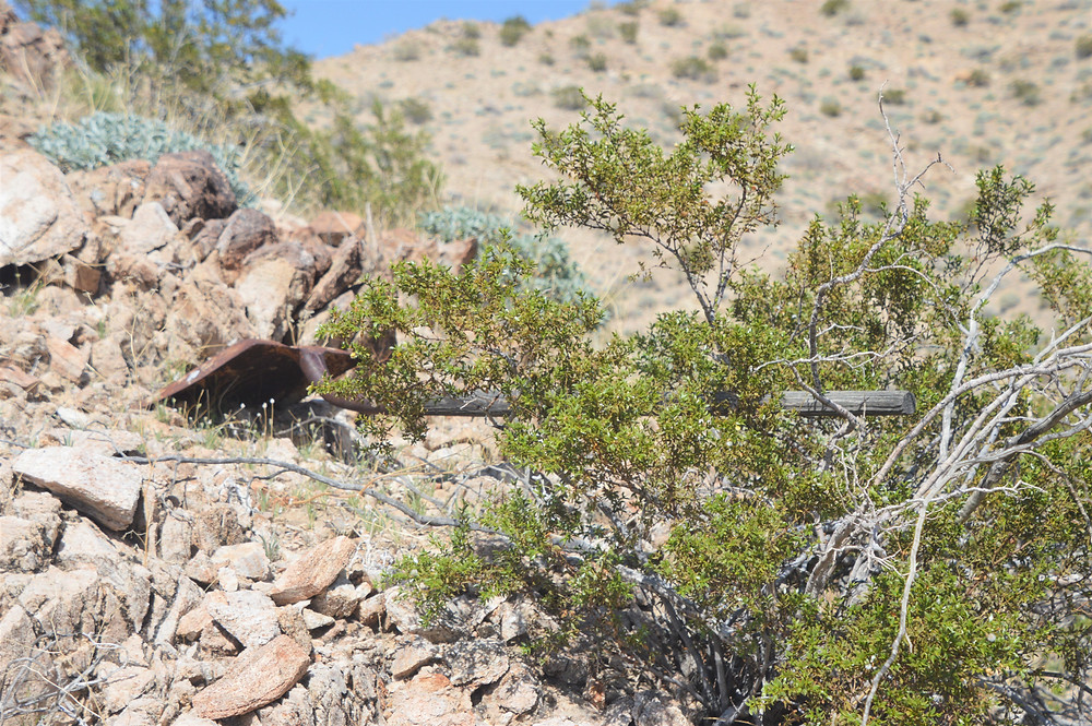 Creosote bush along the Hahn Vista Trail in the Santa Rosa Mountains