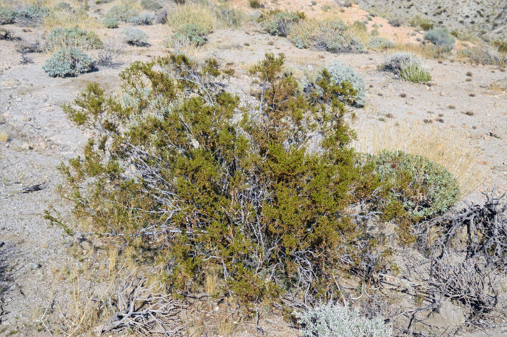 Creosote bush along trail leading to Murray Hill